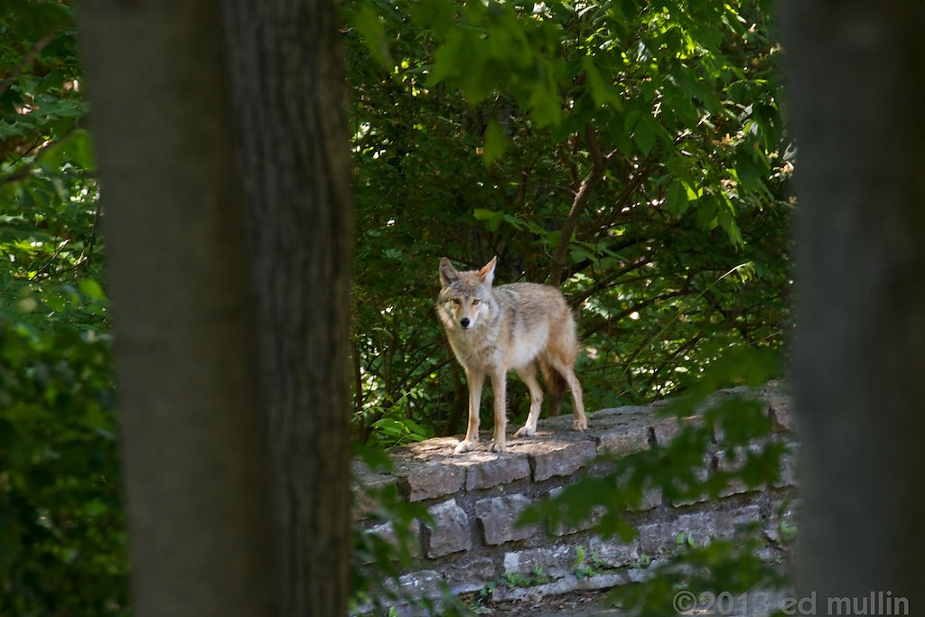 Neighborhood Coyote