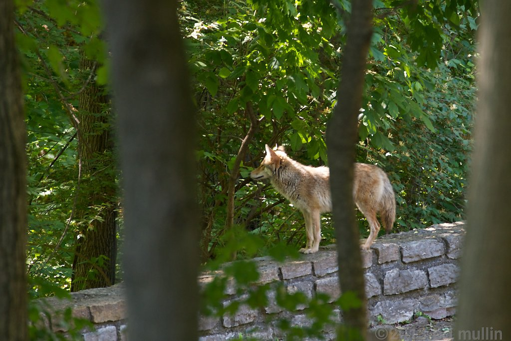 Neigborhood Coyote